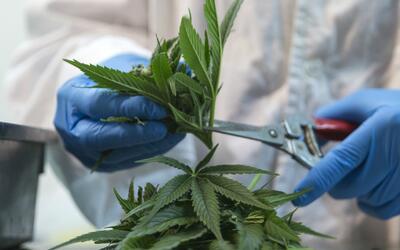 Senado mexicano aprueba el uso de marihuana con fines medicinales