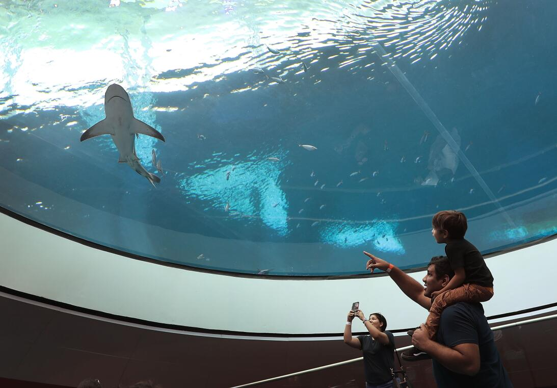 Un visitante señala un tiburón del acuario mientra sostiene en hombros a...
