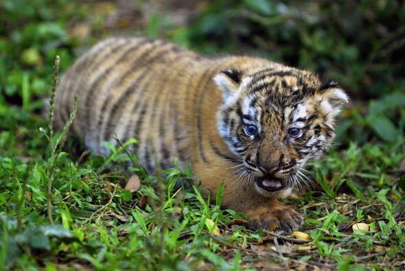 Existen seis subespecias, siendo la del tigre de bengala la más numerosa.