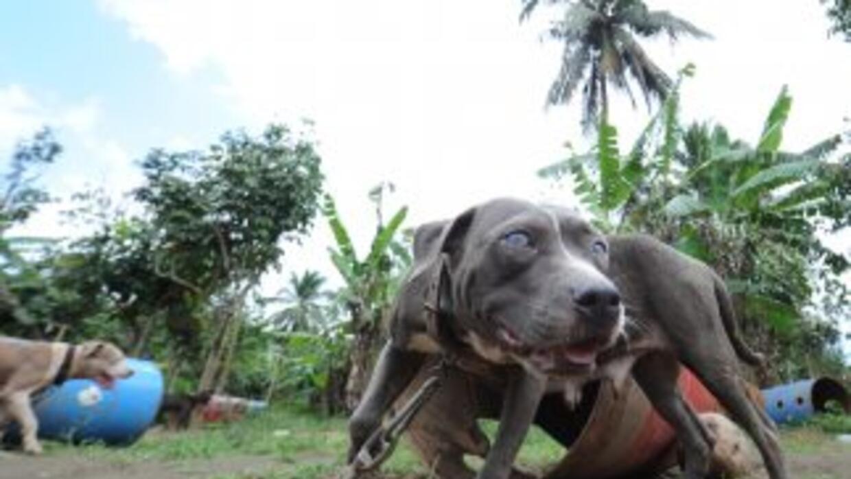 Es la segunda mayor redada de perros de pelea en la historia de EEUU. //...