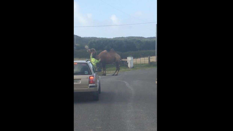 El videíto: Hay tráfico en la ruta... gracias a un camello fugitivo