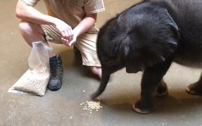Nadie adora comer cereales Cheerios más que este bebé elefante
