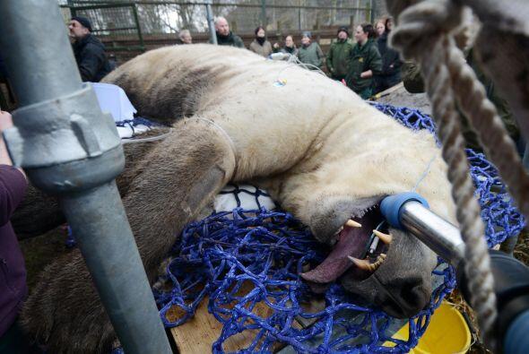 Este particular oso polar sufrió de un dolor agudo en el hocico.