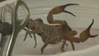 En Cuba utilizan el veneno del escorpión azul para elaborar medicamentos contra enfermedades como el cáncer