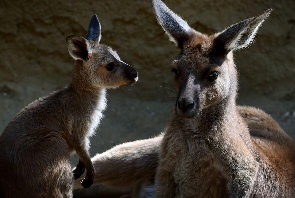 Las hembras canguros de entre siete y nueve años están dando a luz.