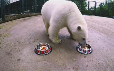 Alerta en el Tri: Nika, la osa polar que predice los resultados, dice qu...