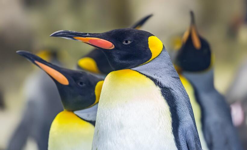 Exilio o muerte para el pingüino rey debido al cambio climático istock-8...