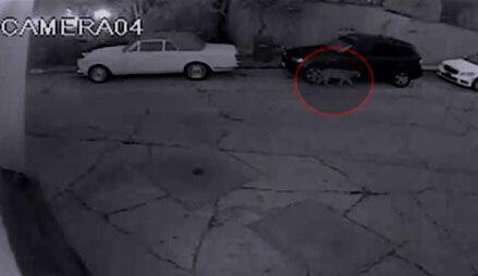 Un león de montaña de 4 años fue captado por cámaras de seguridad cuando...