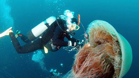 Existen medusas de todos los tamaños, aunque algunas son de menos de una...