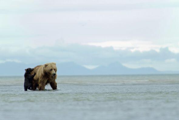 Un cachorro de oso grizzli se moría por acompañar a su madre por comida.