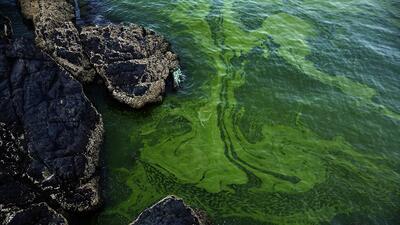 Una alfombra de algas del tamaño de México amenaza la vida marina del Arábigo