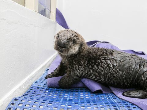 Pup 719, una nutria rescatada por el Acuario de Monterey Bay en Californ...