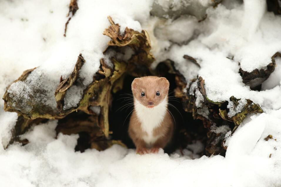 'Comadreja común, invierno', fotografía tomada en North Yorkshire, Ingla...