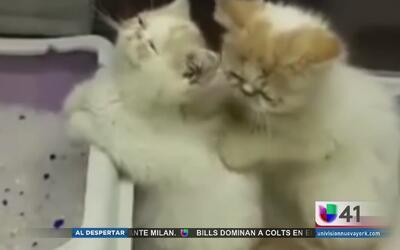 Gatito da masaje profesional a otro felino