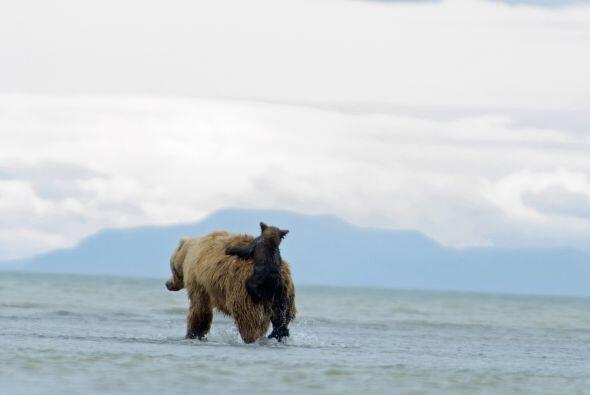 Lo que resultó muy divertido para el pequeño oso que jugueteó todo el ti...