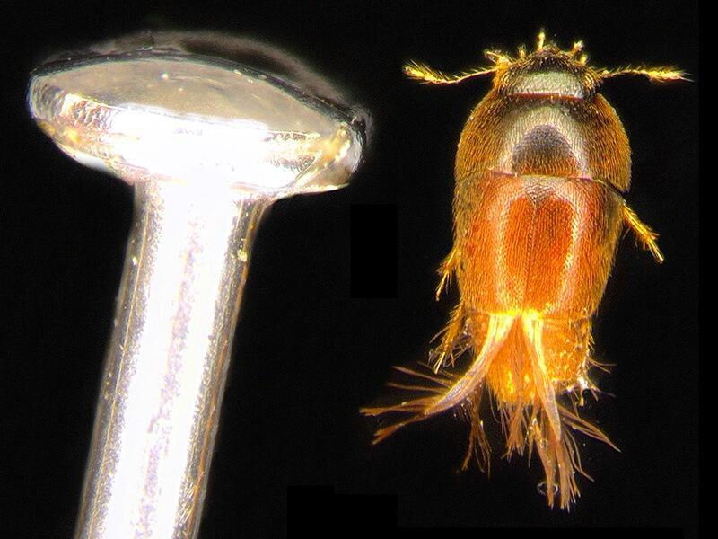Este escarabajo mide apenas un milímetro y vive en pequeños cuerpos de a...