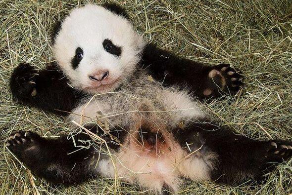 Manteniendo una tradición china, a los panda bebés no se les asigna un n...
