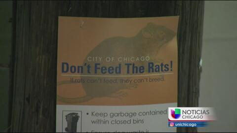 Chicago es la ciudad con más ratas en el país