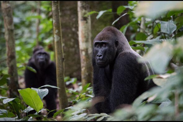 Una mamá gorila fue fotografiada en un momento enternecedor, cuidaba de...