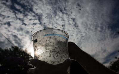 Liberación de mosquitos con su ADN modificado.