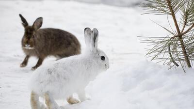 ¿Qué les pasa a los animales con pelaje blanco cuando los inviernos son cada vez menos nevados?
