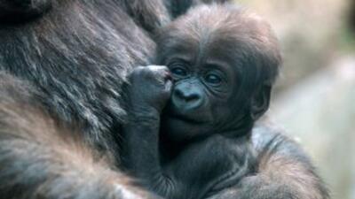El zoológico neoyorquino del Bronx ha visto nacer sus primeras crías de...