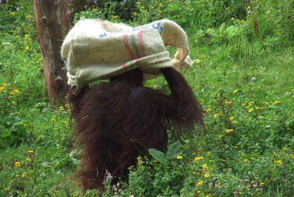 Los cuidadores del zoológico aseguran  que lo que realizo Gambira simple...