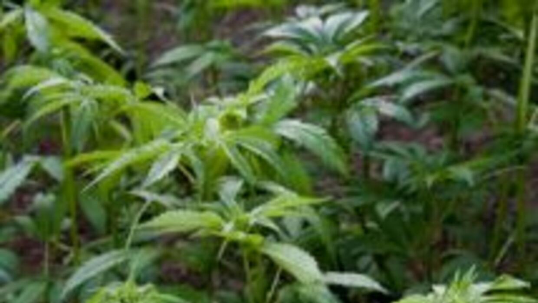 Agentes colombianos interceptaron 3.6 toneladas de marihuana de alta cal...