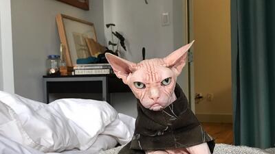 Muere Loki, 'el gato más gruñón del mundo'