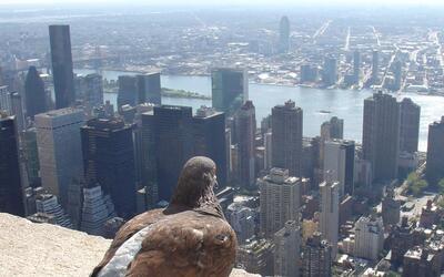 Las palomas han sido, entre otras especies, algunas de las más af...
