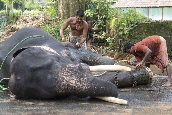 Cada elefante debe contar con mínimo dos Mahouts para su cuidado.