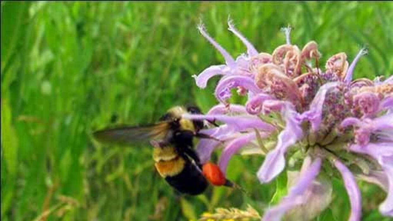 El abejorro está en peligro de extinción y con él los tomates, arándanos...