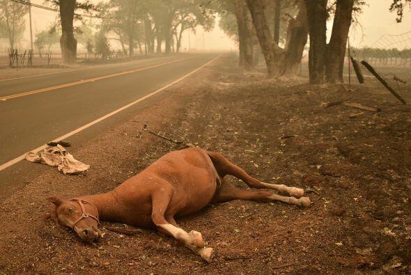 Un caballo muerto yace al costado de un camino en Middletown, California.