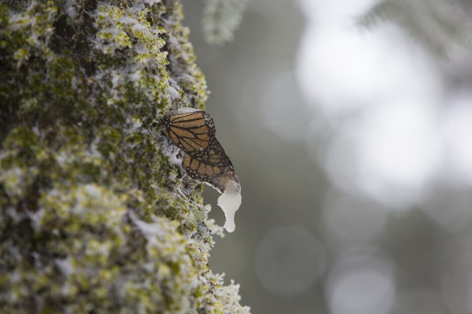 Mariposas monarca: cuando la nieve amenaza su supervivencia MARIPOSA_03.jpg