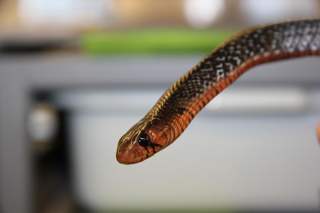 Así se crían las serpientes más largas de EEUU en Florida  juvenile east...