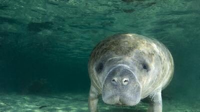 Las 11 cosas que no sabías sobre los parientes de los elefantes que viven en el agua: los manatíes