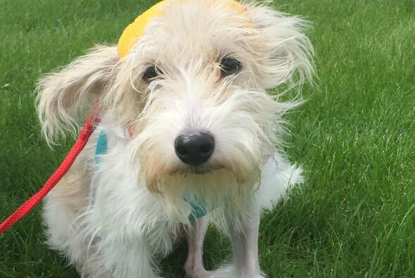 Callie, una perrita de 10 meses de edad se recupera tras haber sido lanz...