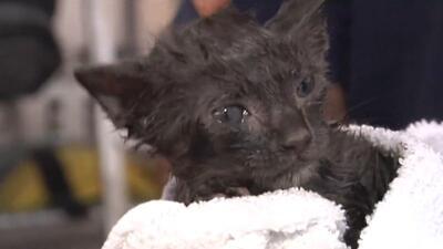 Bomberos de Miami rescatan a gatito de drenaje