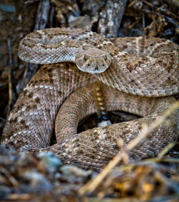 Una serpiente cascabel de este tipo mordió a la niña el sábado. Las auto...