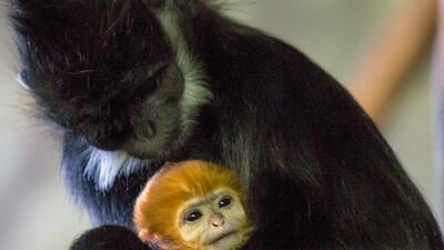Nace un nuevo primate en el zoológico Lincoln