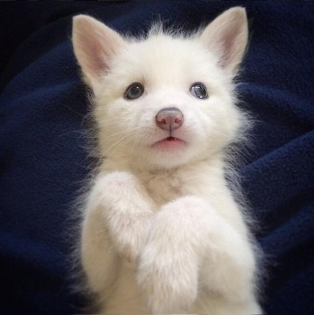 Una mascota adorable: ¡un zorro albino!
