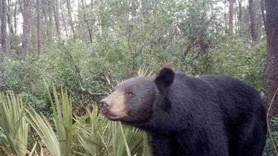Caza osos Florida