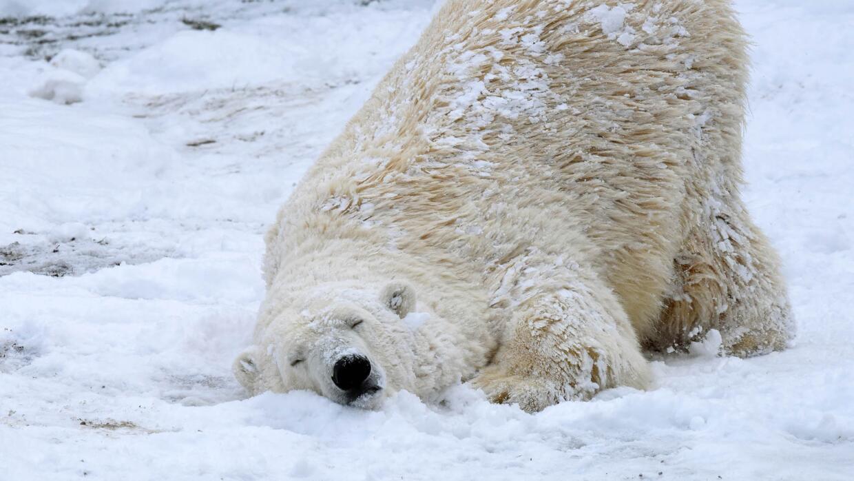 Osos polares disfrutando de la nieve en Chicago