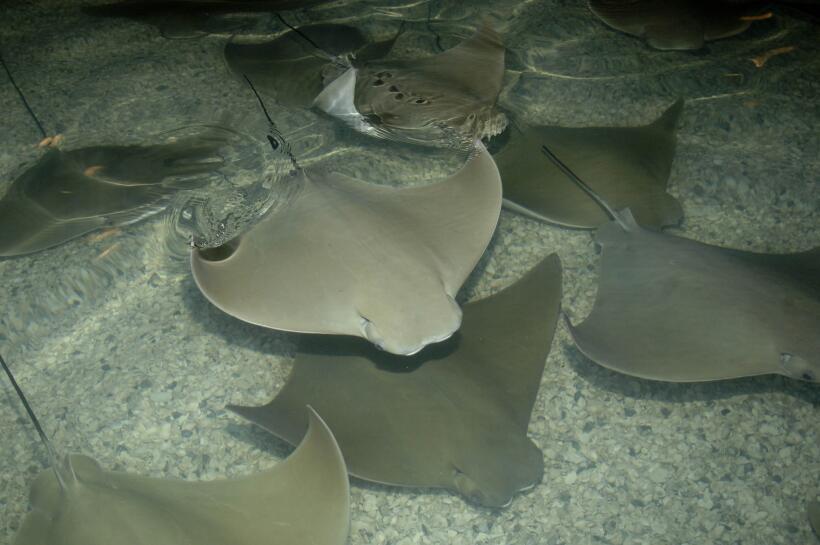 Imágenes de la exhibición Stingray Bay Habitat que por aho...