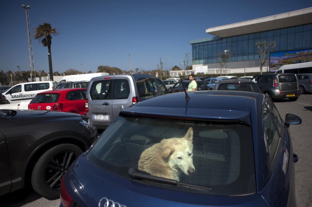En la foto, Un perro mira desde dentro de un coche mientras espera a sus...