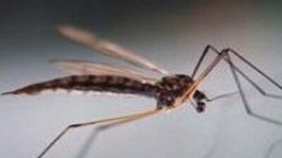 Departamento de Salud de NY alerto de la presencia de un mosquito infect...