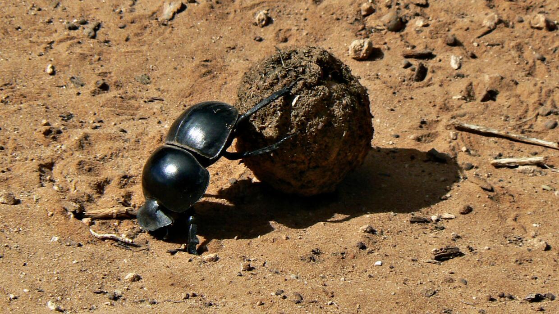 Un escarabajo pelotero en el Parque Nacional de Elefantes de Addo (Sudáf...