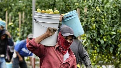 El programa H-2A otorga cada año 66,000 visas a trabajadores agrícolas i...