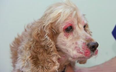 Posibilidades de que su mascota sufra de cáncer y qué hacer si sucede