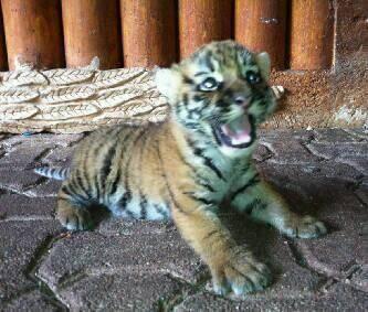 """""""Fenix"""", dice el tuit que acompaña esta imagen de un cachorro de tigre...."""
